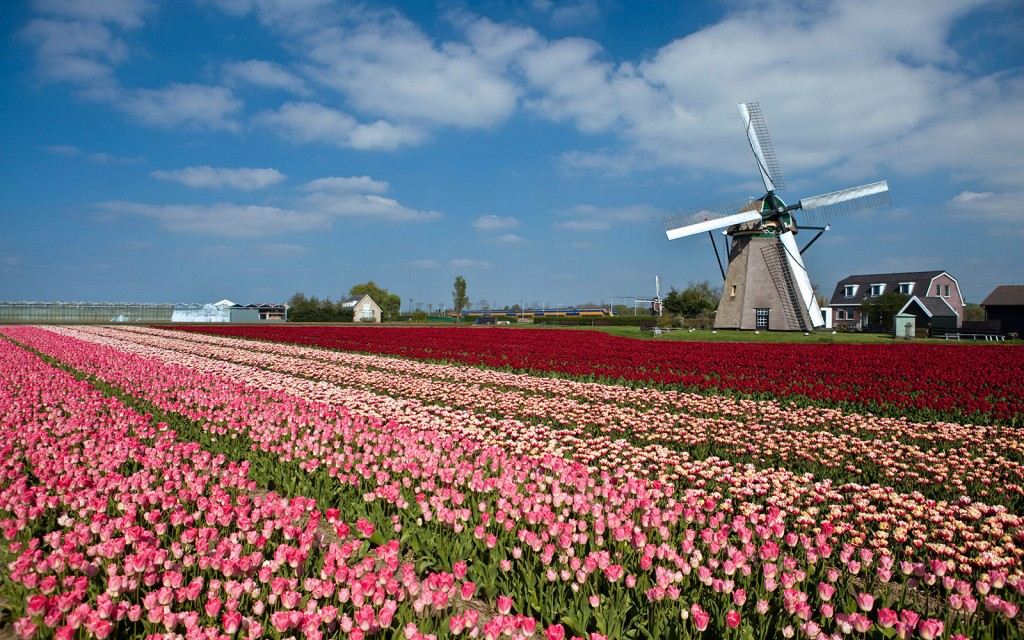 C57P40 The Netherlands, Lisse, Tulip flowers. Windmill.
